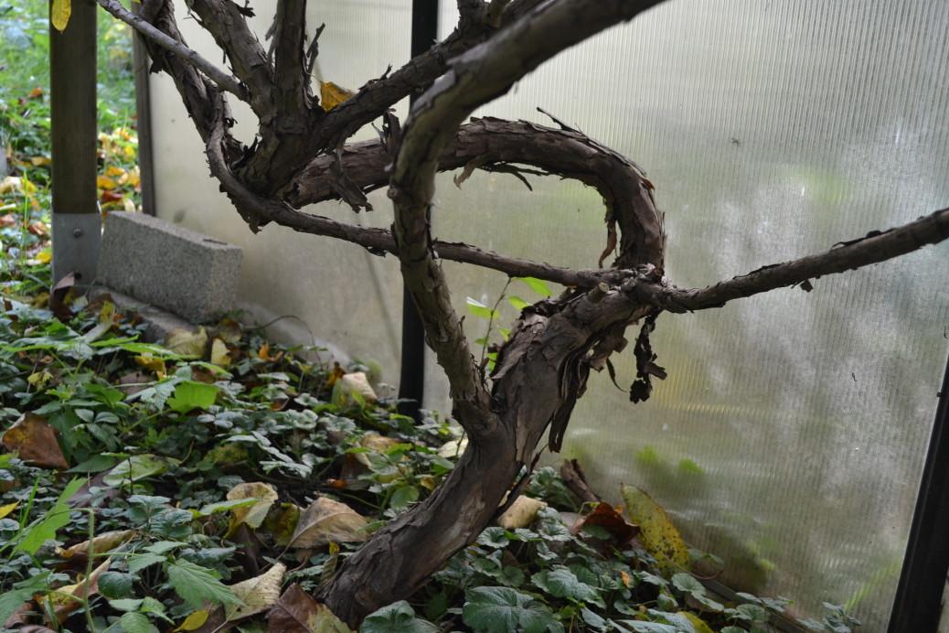 Strahlengriffel Mini Kiwi