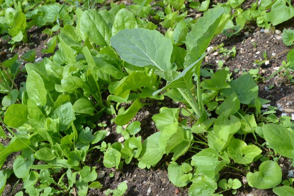 Reihenmischkultur Spinat Karfiol
