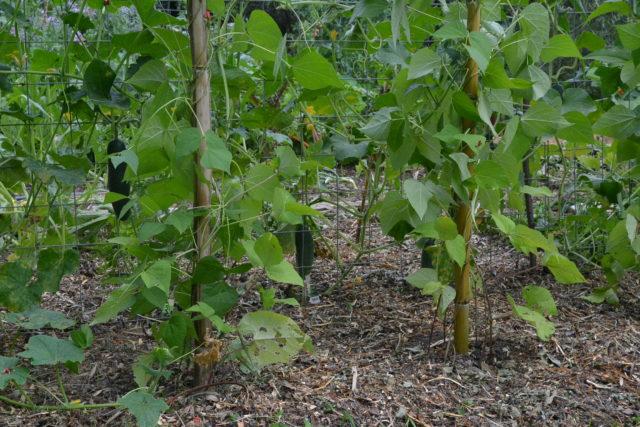 Stangenbohnen Gurken